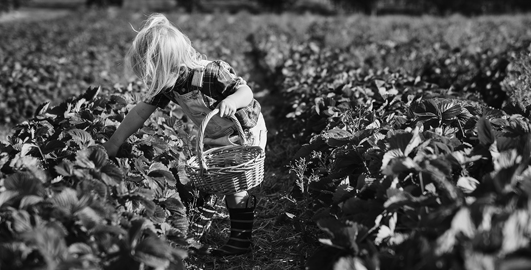 kind plukt aardbeien