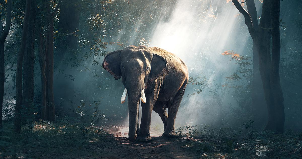 Olifant-in-het-bos